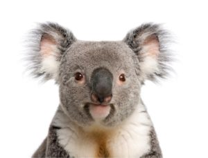 Male Koala bear. Koalas can also get Chlamydia.